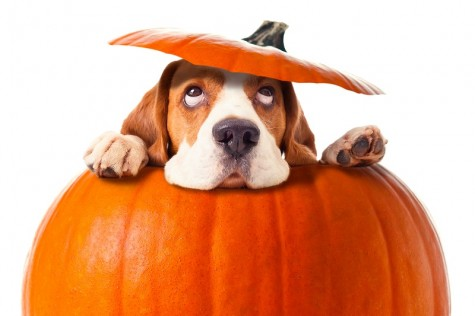 dog-in-pumpkin-halloween